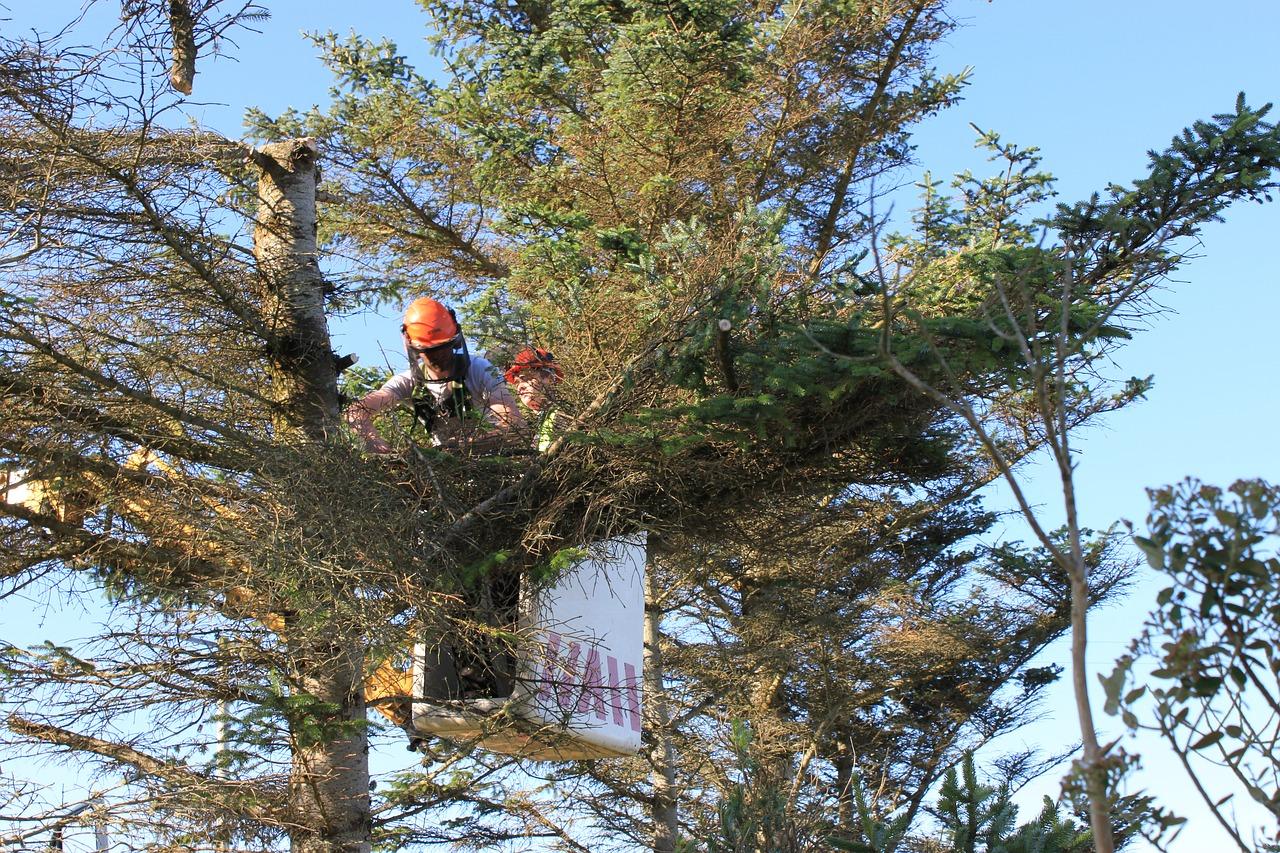 Gentleman Cutting Tree